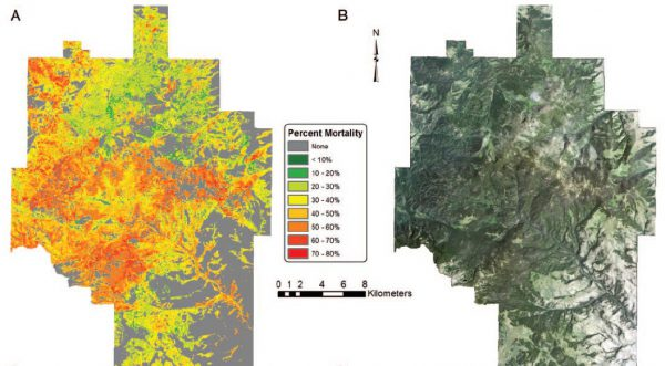 Mapping the severity of pine tree mortality in the Helena National Forest in western Montana